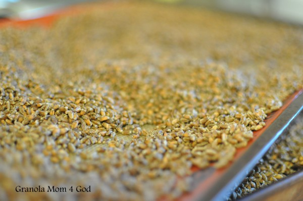 freshly dehydrated wheat berries
