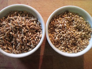 triticale and wheat berries